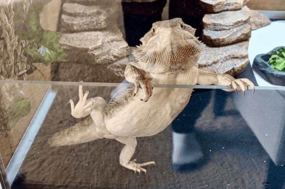 bearded dragon mbd cure