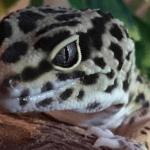 calcium for leopard geckos
