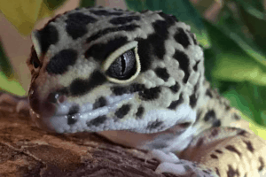 calcium for leopard geckos