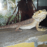 why do bearded dragons flatten out