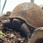 can box turtles eat apples