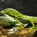 types of pet lizards