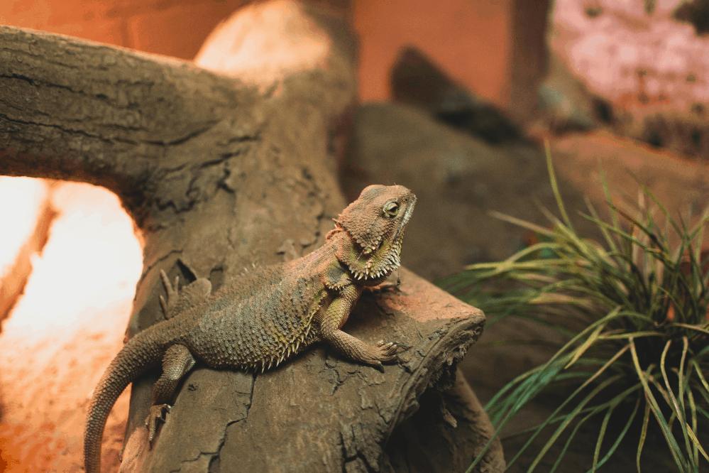 bearded dragon types of pet lizards