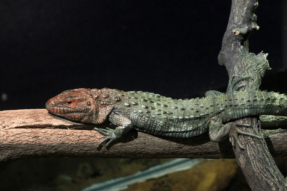 caiman lizard types of pet lizards