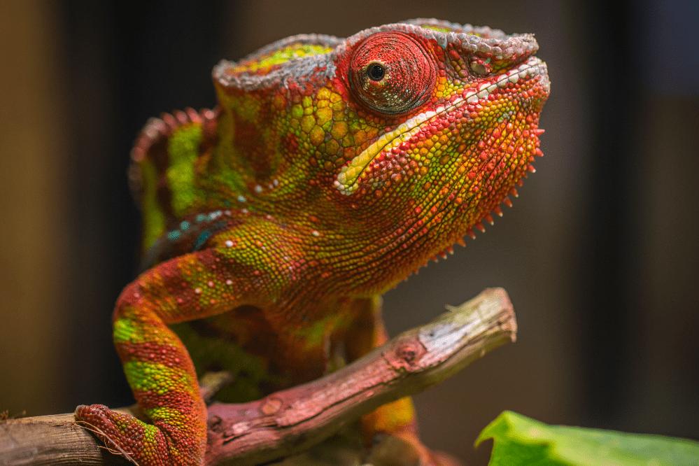 chameleon types of lizards