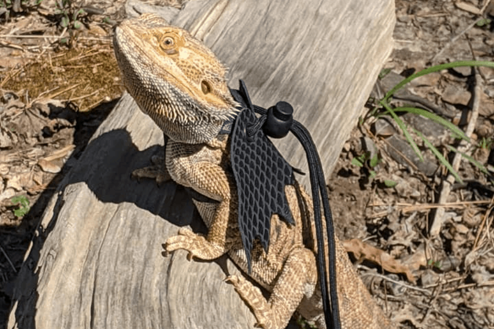 can bearded dragons eat watercress