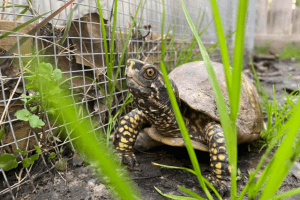 can box turtles eat cucumbers