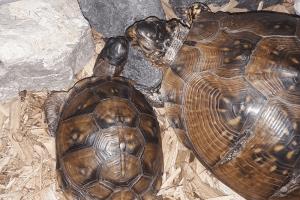 how to create a box turtle habitat indoors