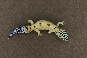 leopard gecko bioactive substrate