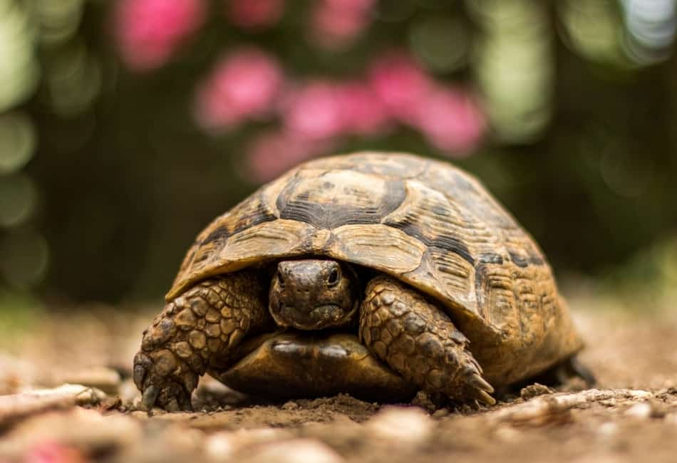 tortoise vs turtle