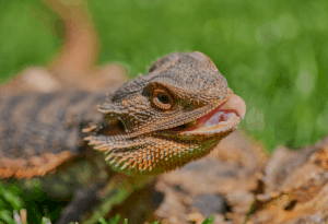 can a bearded dragon eat cucumber
