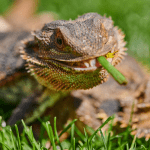 can a bearded dragon eat spinach