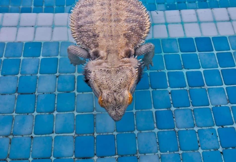 bearded dragon swimming
