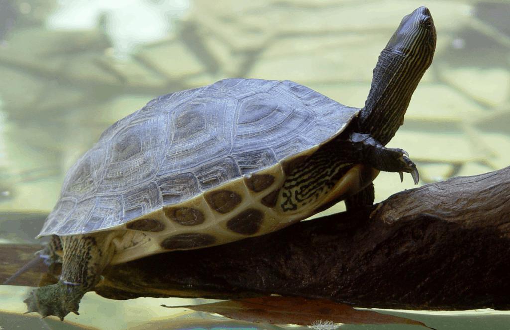 Mauremys sinensis