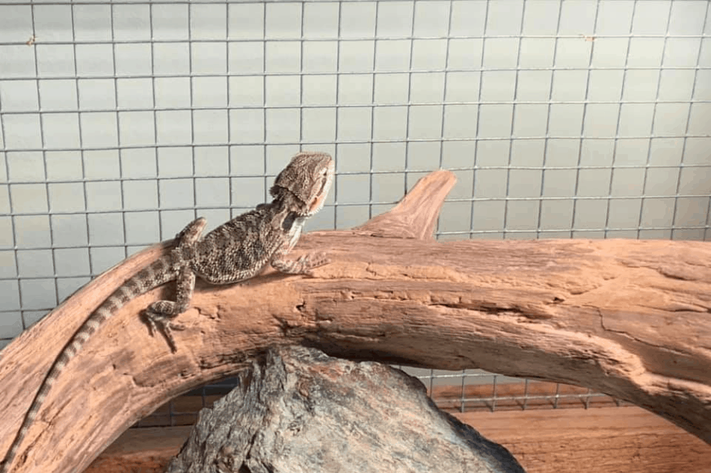can bearded dragons eat star fruit