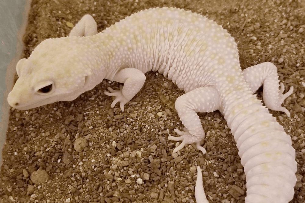 leopard gecko enigma