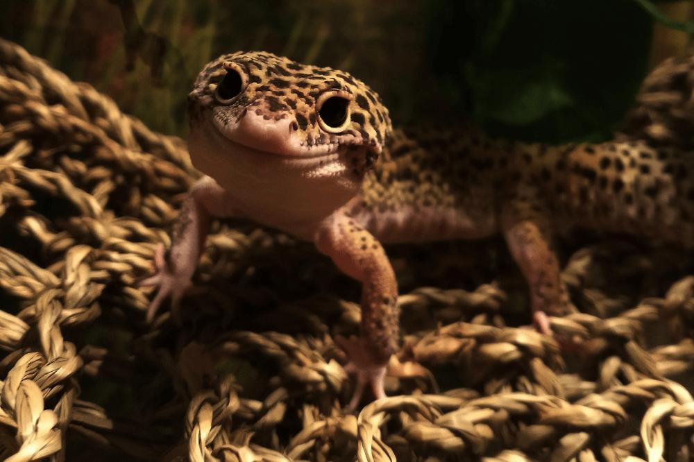leopard gecko food alternatives