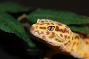 care sheets for leopard geckos