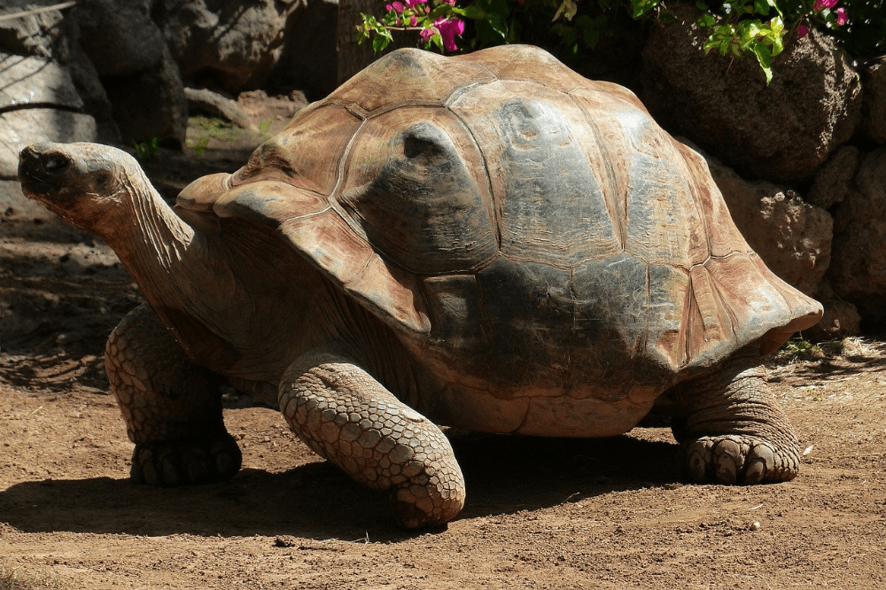 african spurred tortoise care
