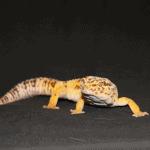 leopard gecko calcium deficiency symptoms