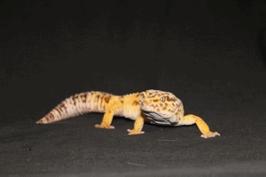 leopard gecko calcium deficiency symptoms