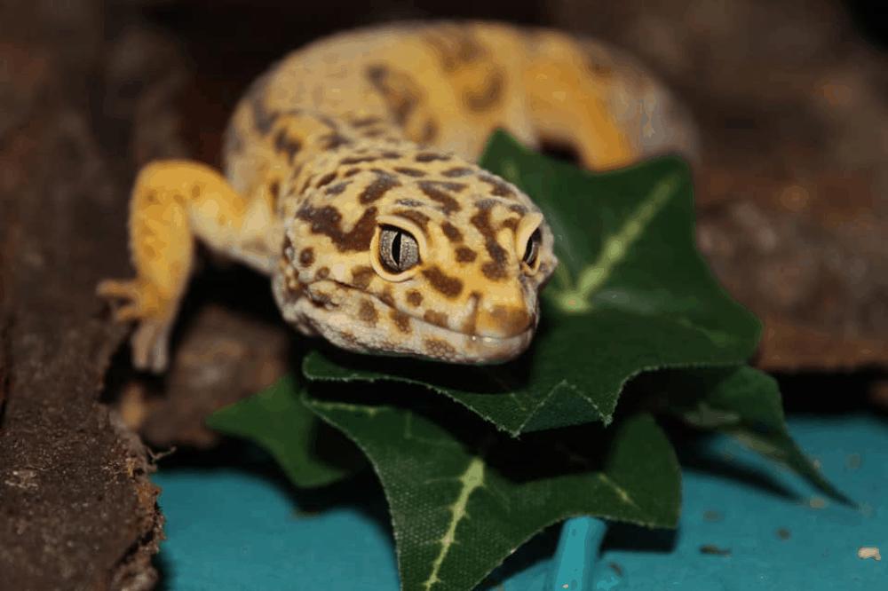 leopard gecko equipment
