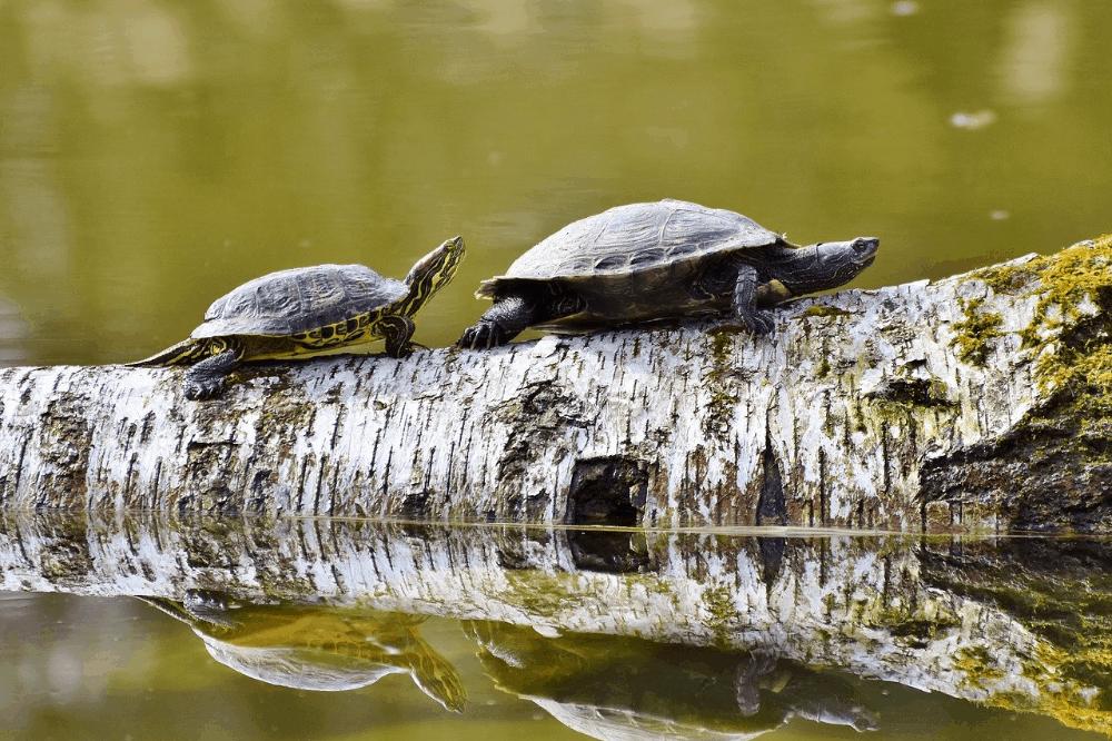 types of pet turtles and tortoises