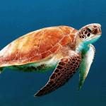 fully aquatic turtles