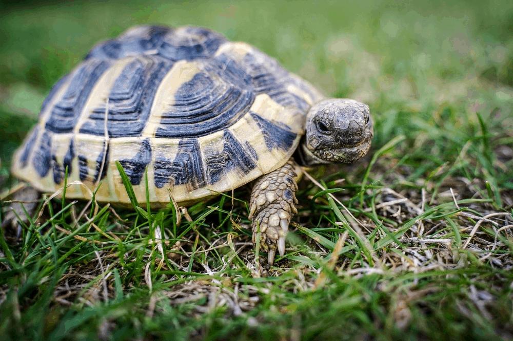 Mini Tortoise Breeds