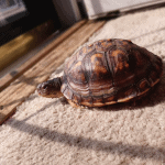 do turtles grow out of their shells