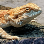 can my bearded dragon eat kale