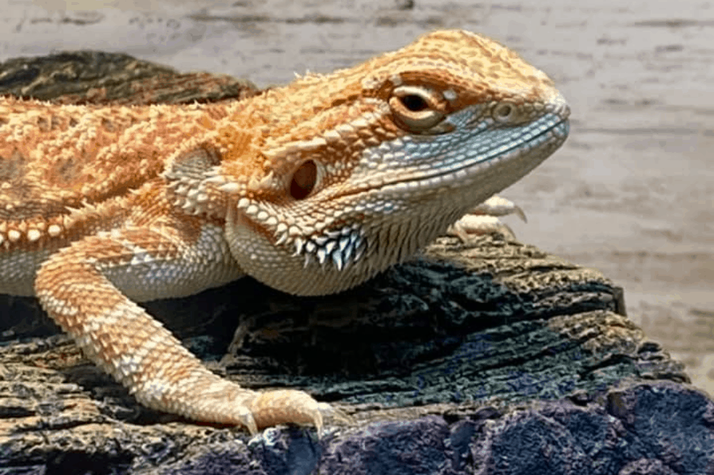 can my bearded dragon eat kale