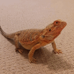 how to tell if bearded dragon is impacted