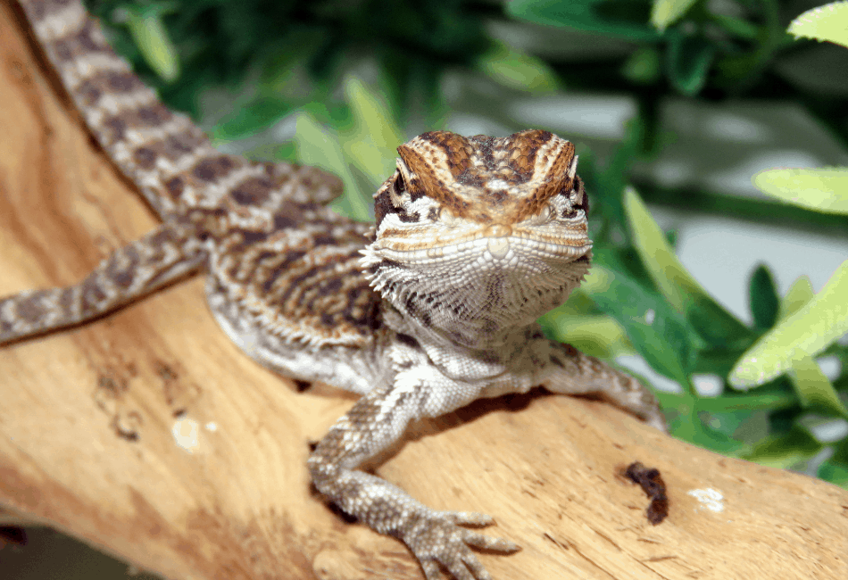 baby bearded dragon lethargic 1
