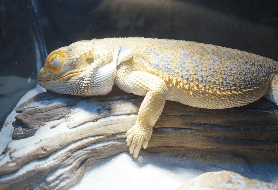 baby bearded dragon lethargic 2