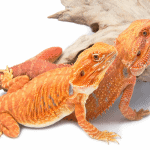 can a male and female bearded dragon live together 1