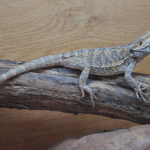 can you overfeed a bearded dragon 1