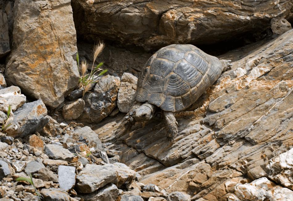 hermann's tortoise care 2