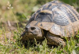 hermann's tortoise care 3