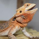 bearded dragon not basking 1 (1)