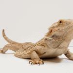 bearded dragon not using back legs 1