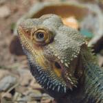 bearded dragon third eye 1