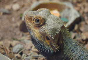 bearded dragon third eye 1