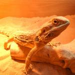 bearded dragon weight chart 1