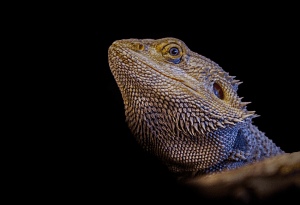 can a bearded dragon eat apples 1