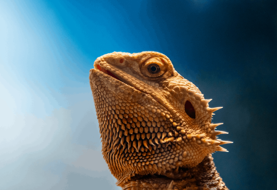 can a bearded dragon eat blueberries 1