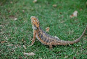 can a bearded dragon eat mustard greens 1
