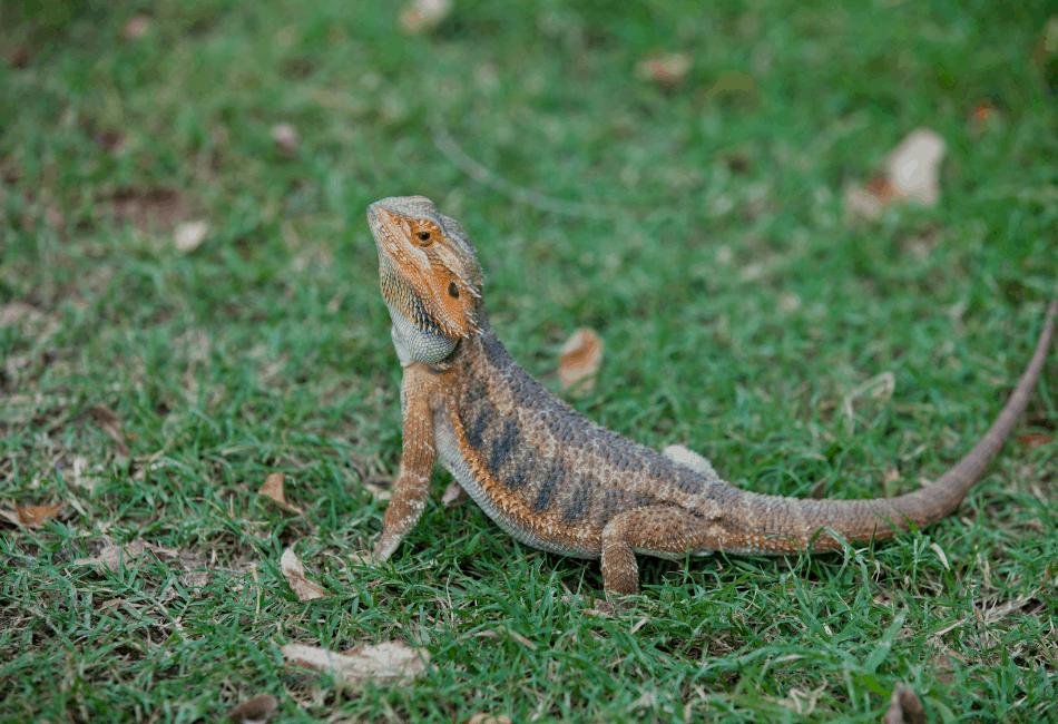 Un dragon barbu peut-il manger des feuilles de moutarde 1