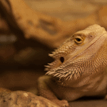 can a bearded dragon eat tomatoes 1