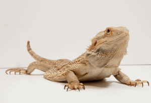 can bearded dragon eat broccoli